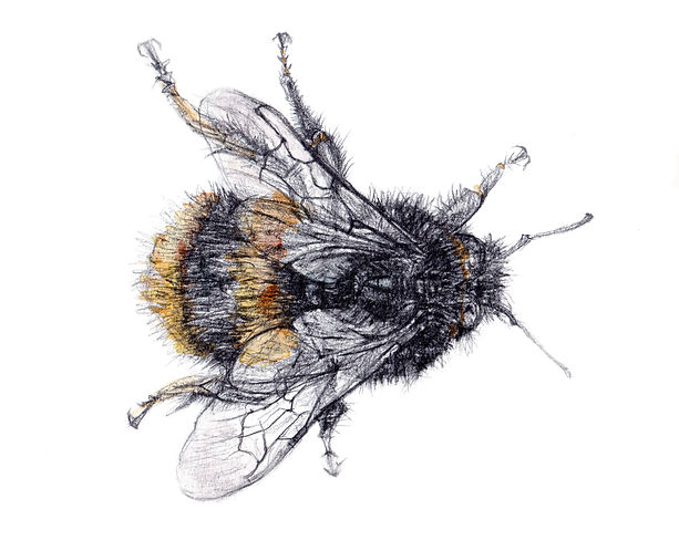 big bee no background.jpg