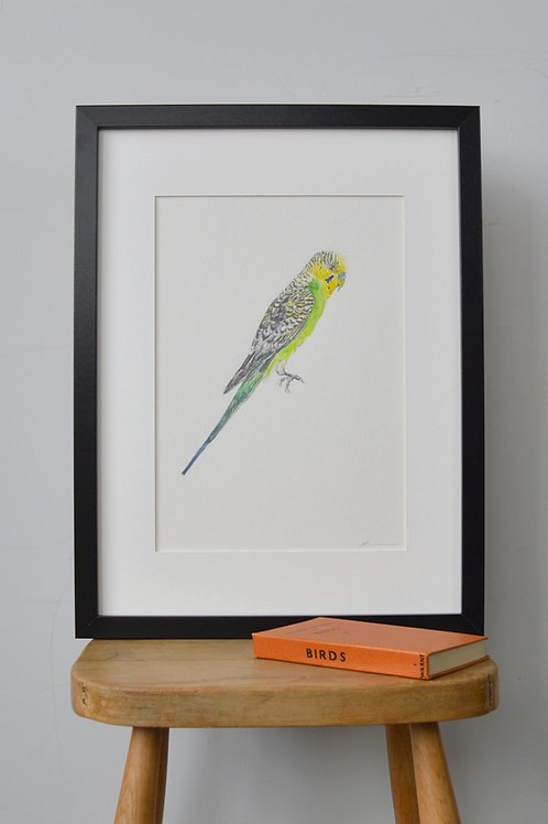 framed budgie pencil and watercolour drawing