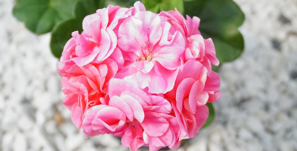 GERANIUM LIERRE DOUBLE ROSE