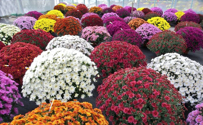 Chrysantheme_edited.jpg