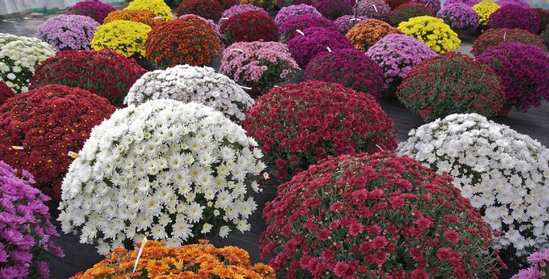 CHRYSANTHEMES POMPONNETTES