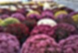 Chrysanthèmes pomponnettes de couleurs variées