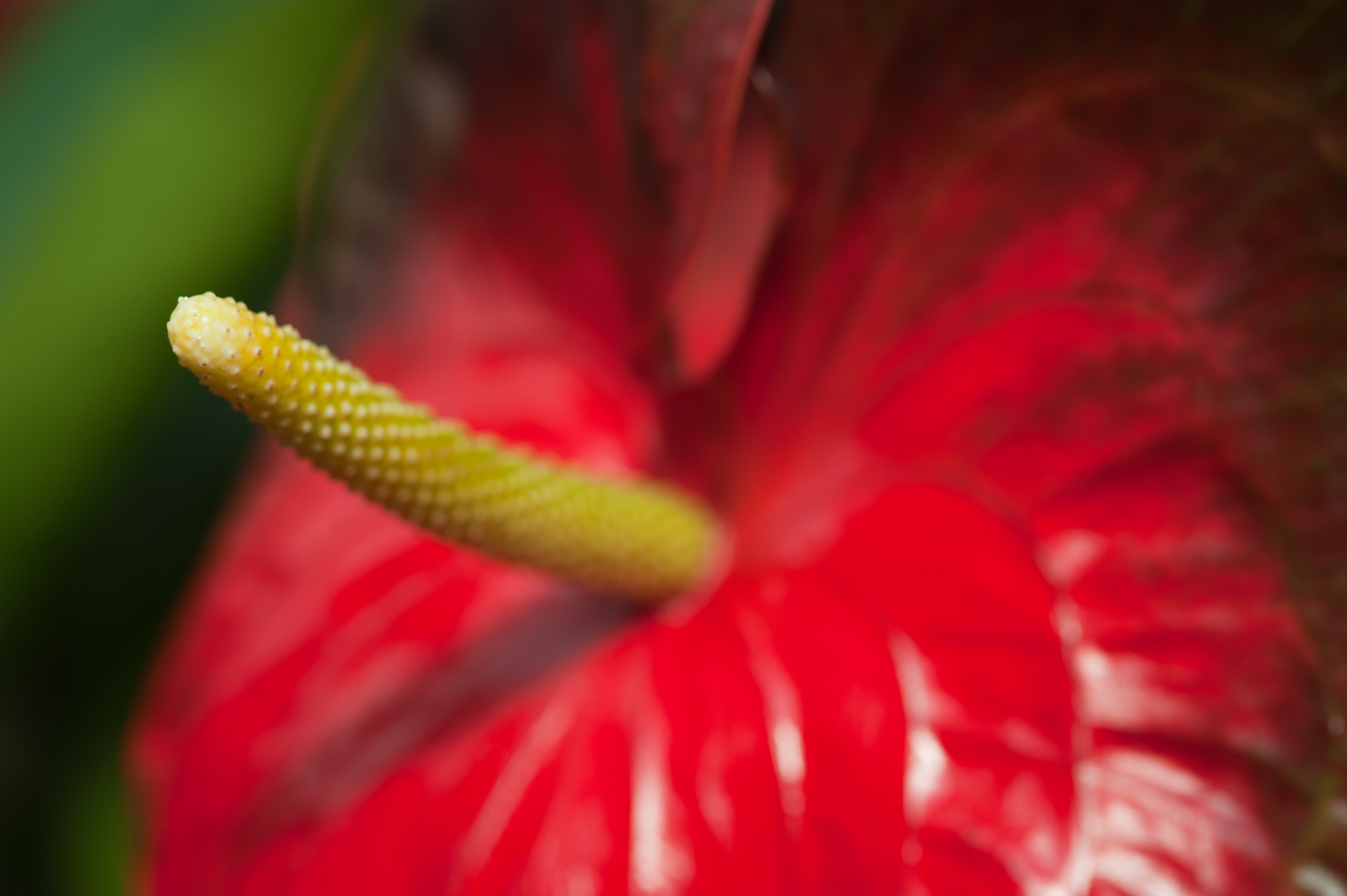 phallic plant