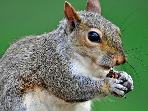 Arctic Ground Squirrel: The Unlikely Source for a Potential Alzheimer's Treatment