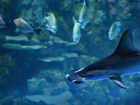 Endangered Shark Species Identified in Fish and Chips