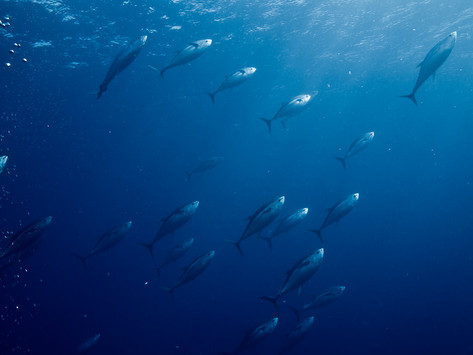 Will There be a Second Chance for the Bluefin Tuna in the UK Thanks to Global Warming?