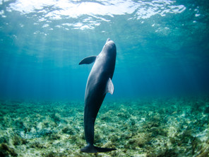 Pollutants found in dolphins in the English Channel