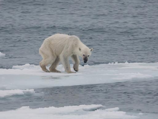 Will we lose the polar bear?