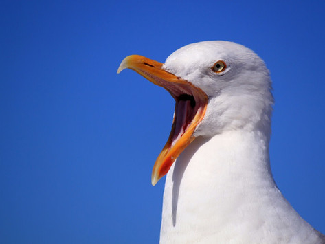 Seagull Aims To Be New Rector