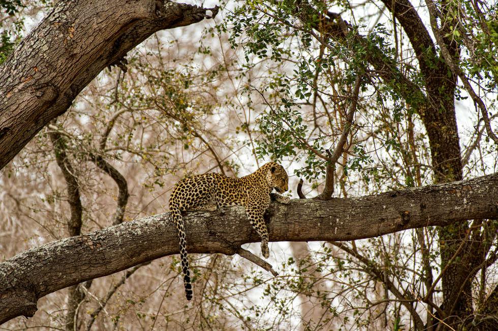 Leopard in Jackal berry tree