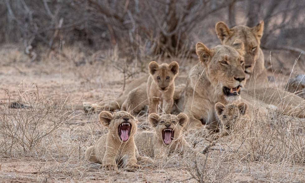 Lion cubs yawn
