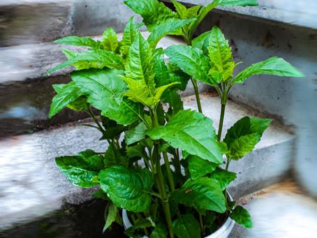 Stachys und Topinambur Jungpflanzen