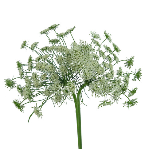 Ammy Majjus Queen Anne Lace