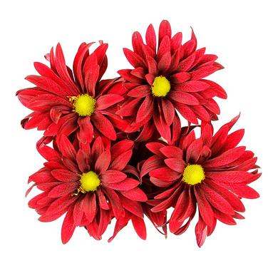 Daisy Brahma Red