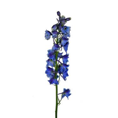 Delphinium Sea Waltz Dark Blue