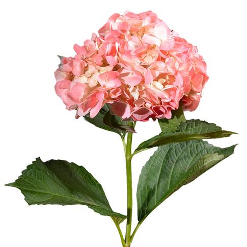Hydrangea Airbrush Pink