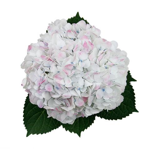 Hydrangea Antique White Jumbo