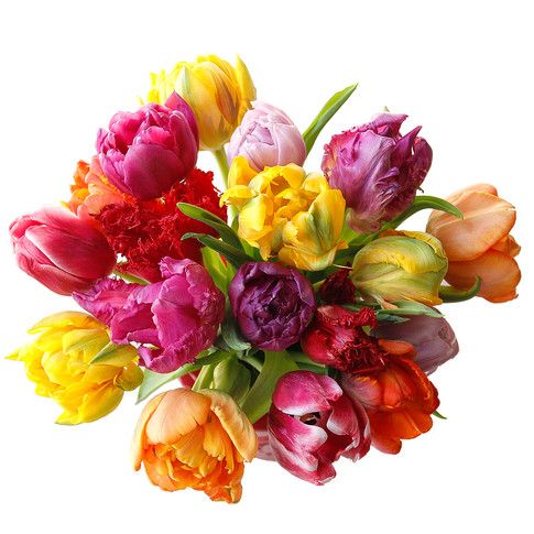 Tulip Novelty Assorted