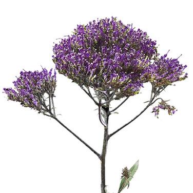 Trachelium Purple