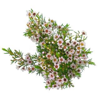 Waxflower Lilac