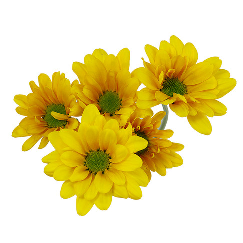 Daisy Yellow Factor