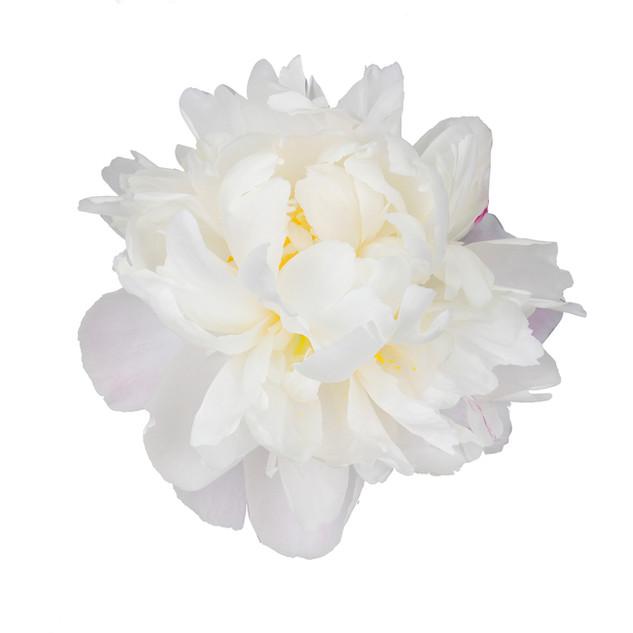 Peony Gardenia Blush White