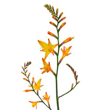Crocosmia Orange