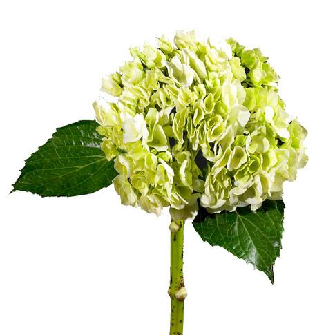 Hydrangea Lime