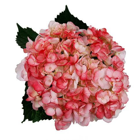 Hydrangea Bicolor Love