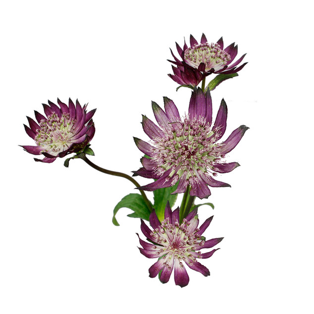 Astrantia Burgandy