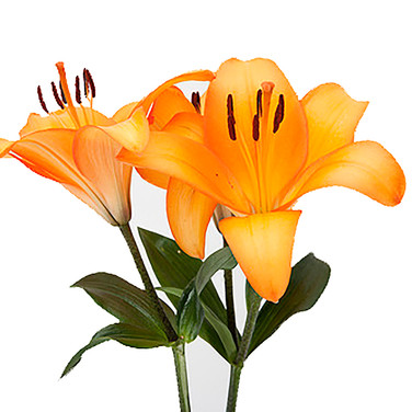 Lily LA Orange