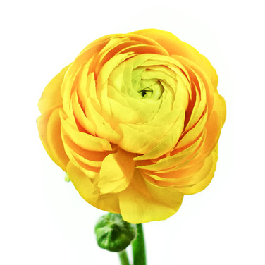 Ranunculas  Yellow