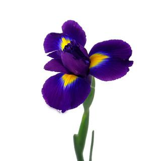Tigris Purple