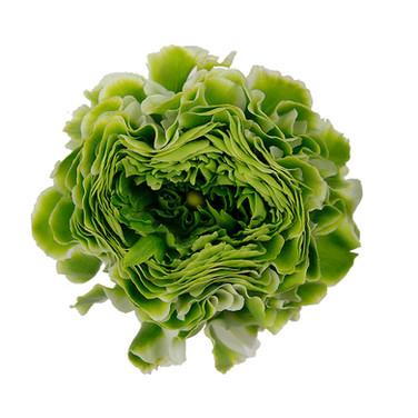 Ranunculus Pom Pom Saliente
