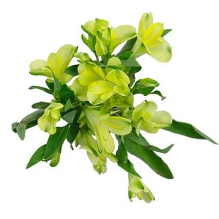Alstro Florinca Green