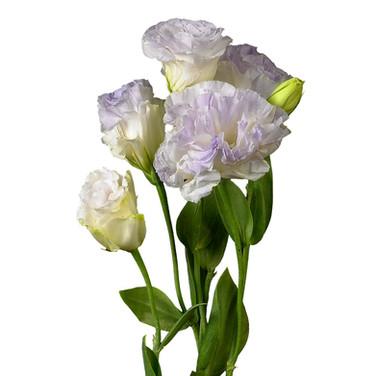 Lisianthus Brillianthus Lavender