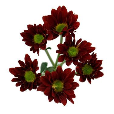 Daisy Red Rebasco