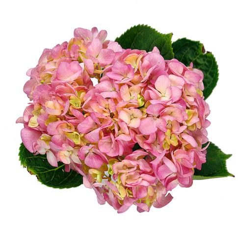 Hydrangea Pink Dream