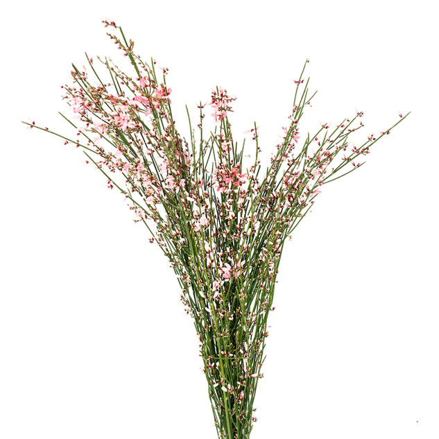 Ginestra Pink