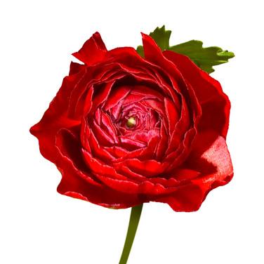 Ranunculas Red