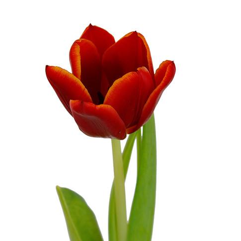 Tulip Bi-color Orange Red