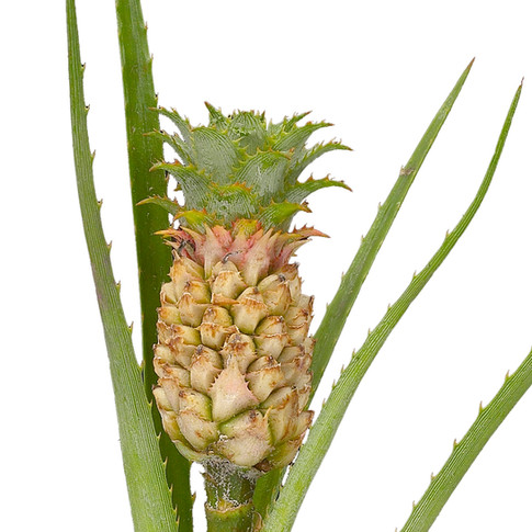 Tropical Pineapple Gold