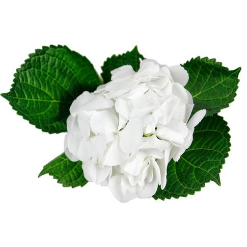 Hydrangea Charmant White