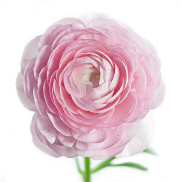 Ranunculas Light Pink