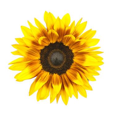 Sunflower Procut