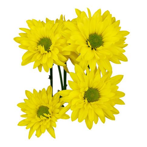Daisy Central Yellow