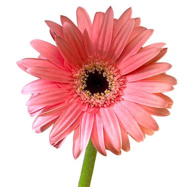 Gerbera Light Pink