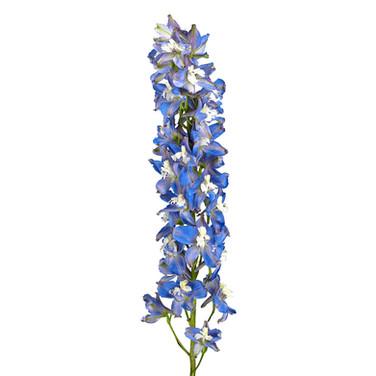 Delphinium Trick Blue