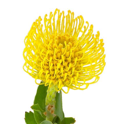 Protea Pincoushin