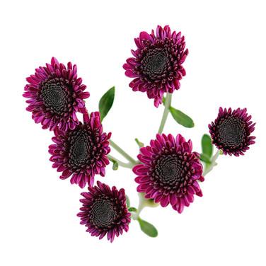 Button Purple Uva